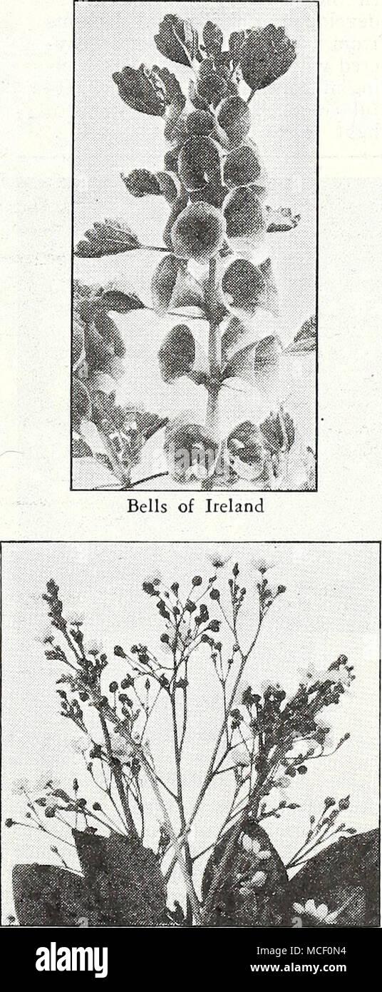 . Coral Flower P = Annual; © = Biennial; [hhp] = Half-Hardy Perennial; [hp] = Hardy Perennial; [tp] = Tender Perennial 3] - Stock Image