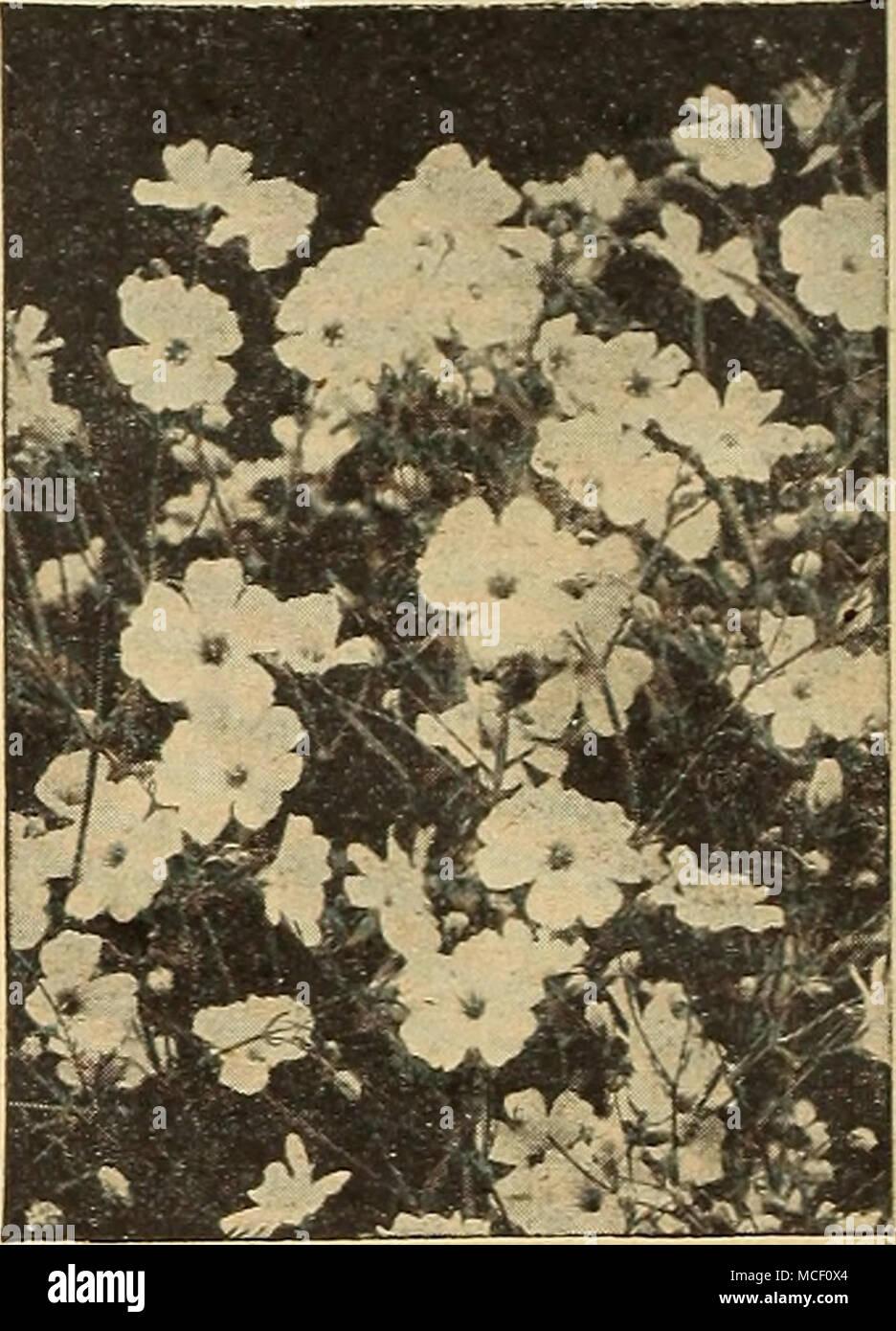 Annual Gypsophila Gypsophilaars Breath Annual Varieties