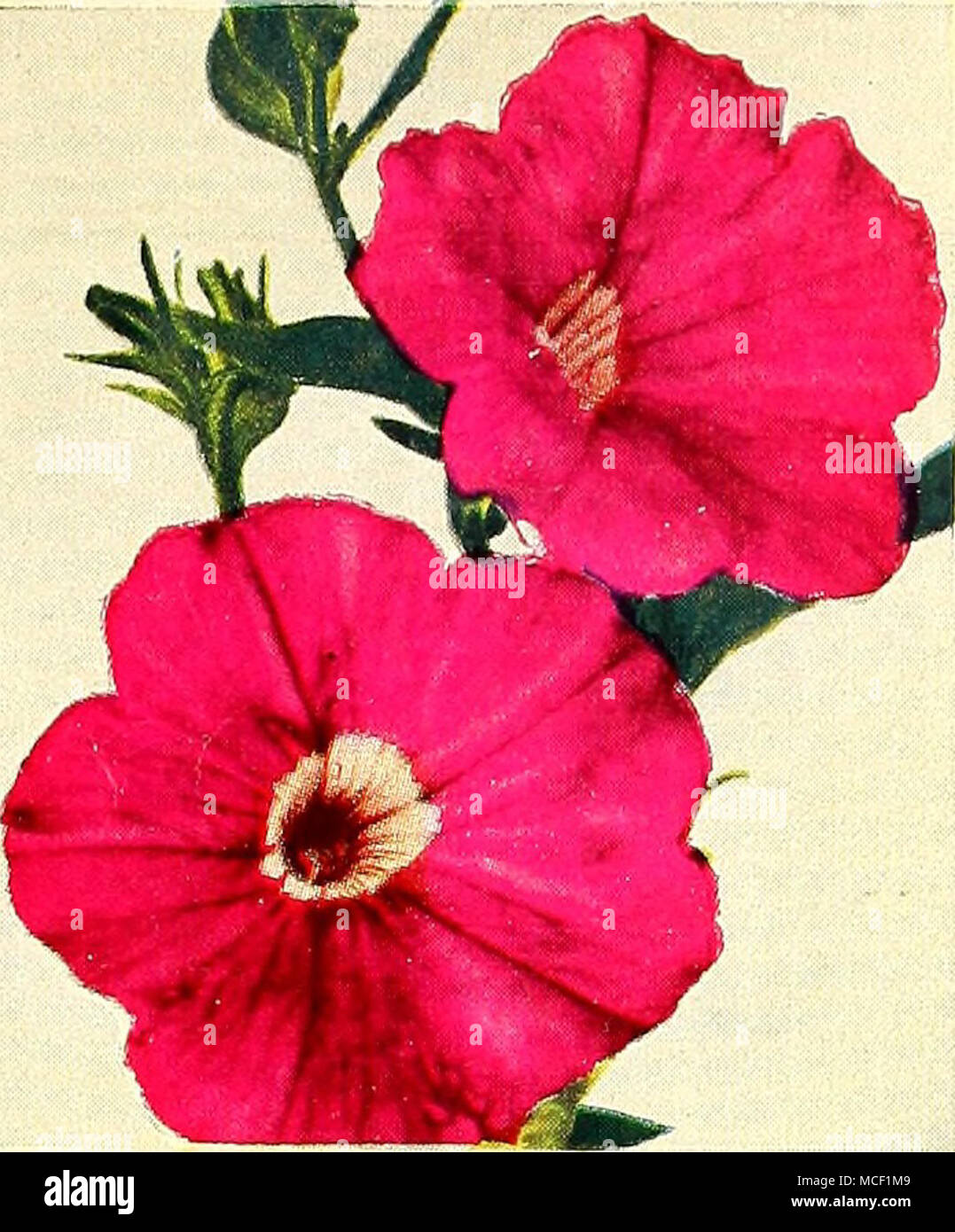 3341 Petunia Radiance ® Outstanding because it starts blooming very ...