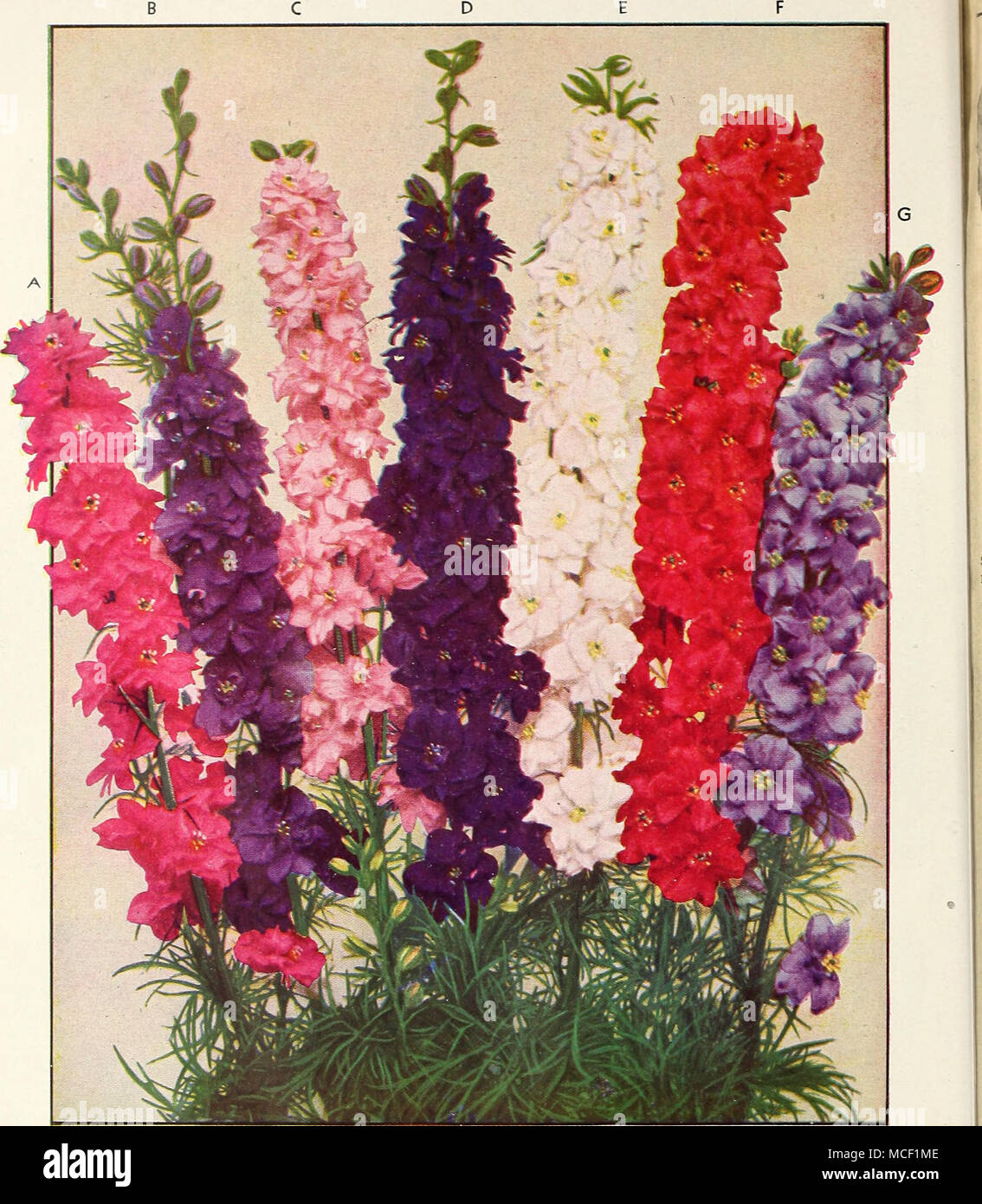 Dreer\'s Giant imperial DOUBLE LARKSPUR The Most Magnificent of all ...