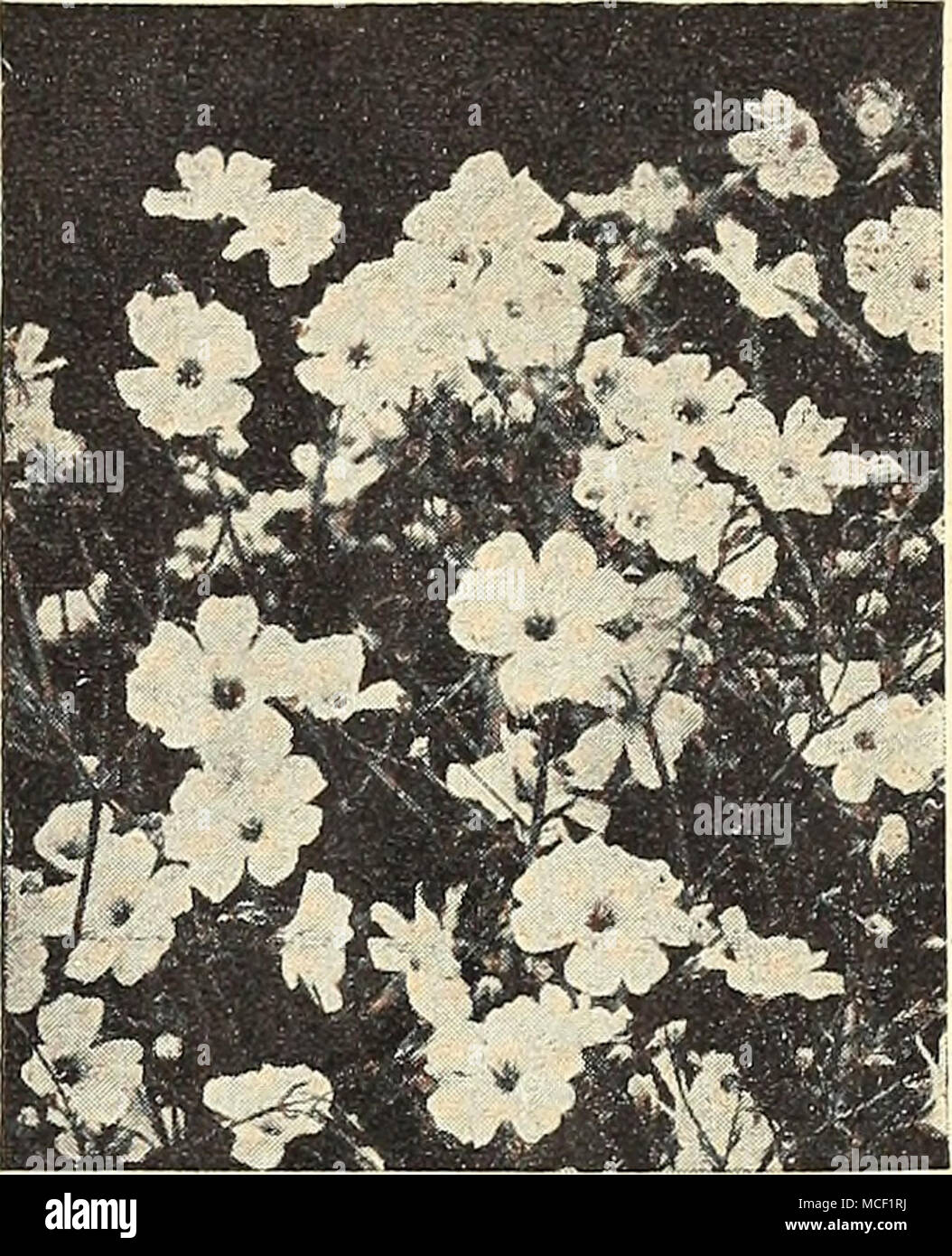 Annual Gypsophila Gypsophila Babys Breath Annual Varieties Dainty