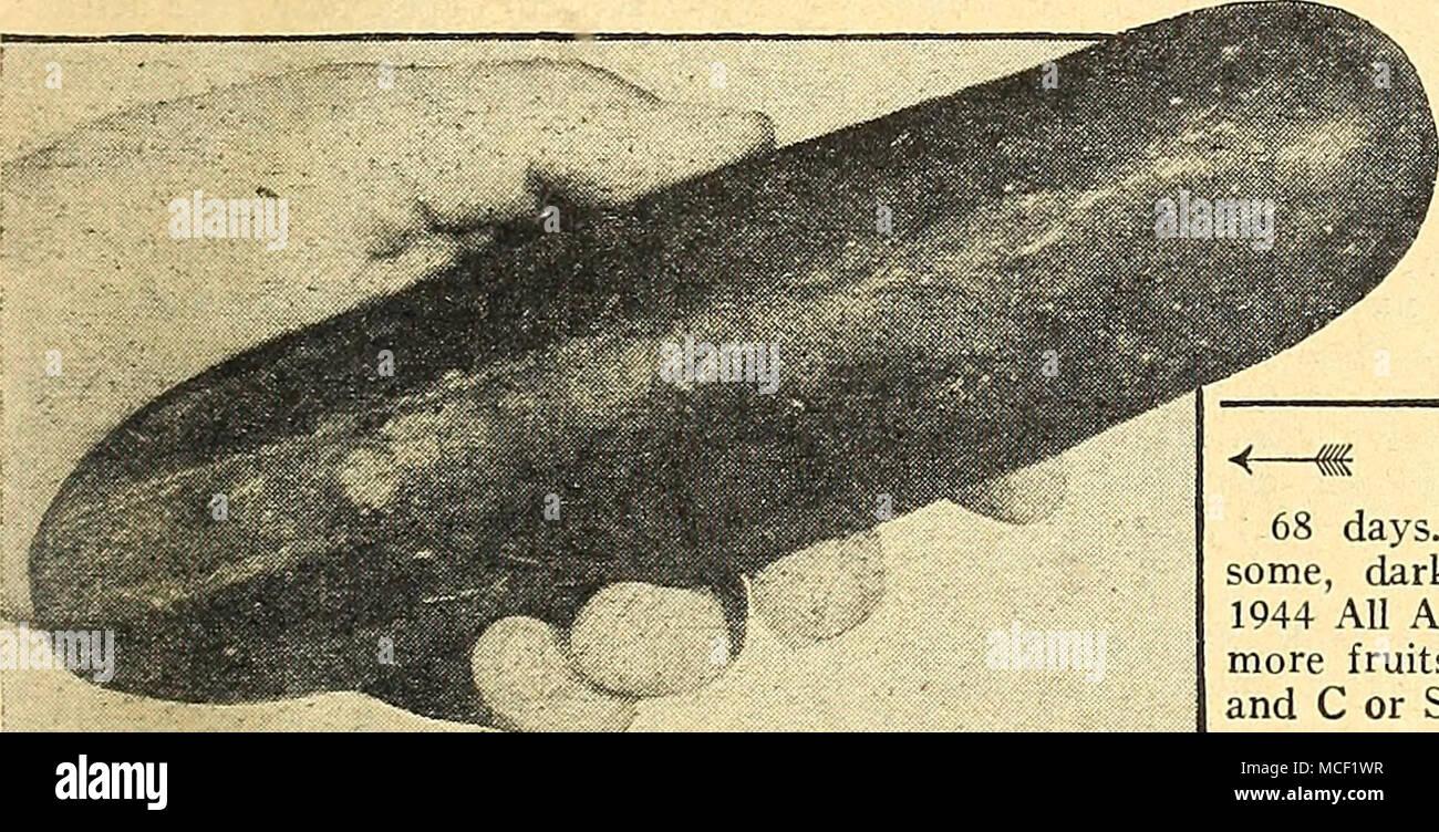 30 Semi//Seeds CETRIOLO Winsconsin