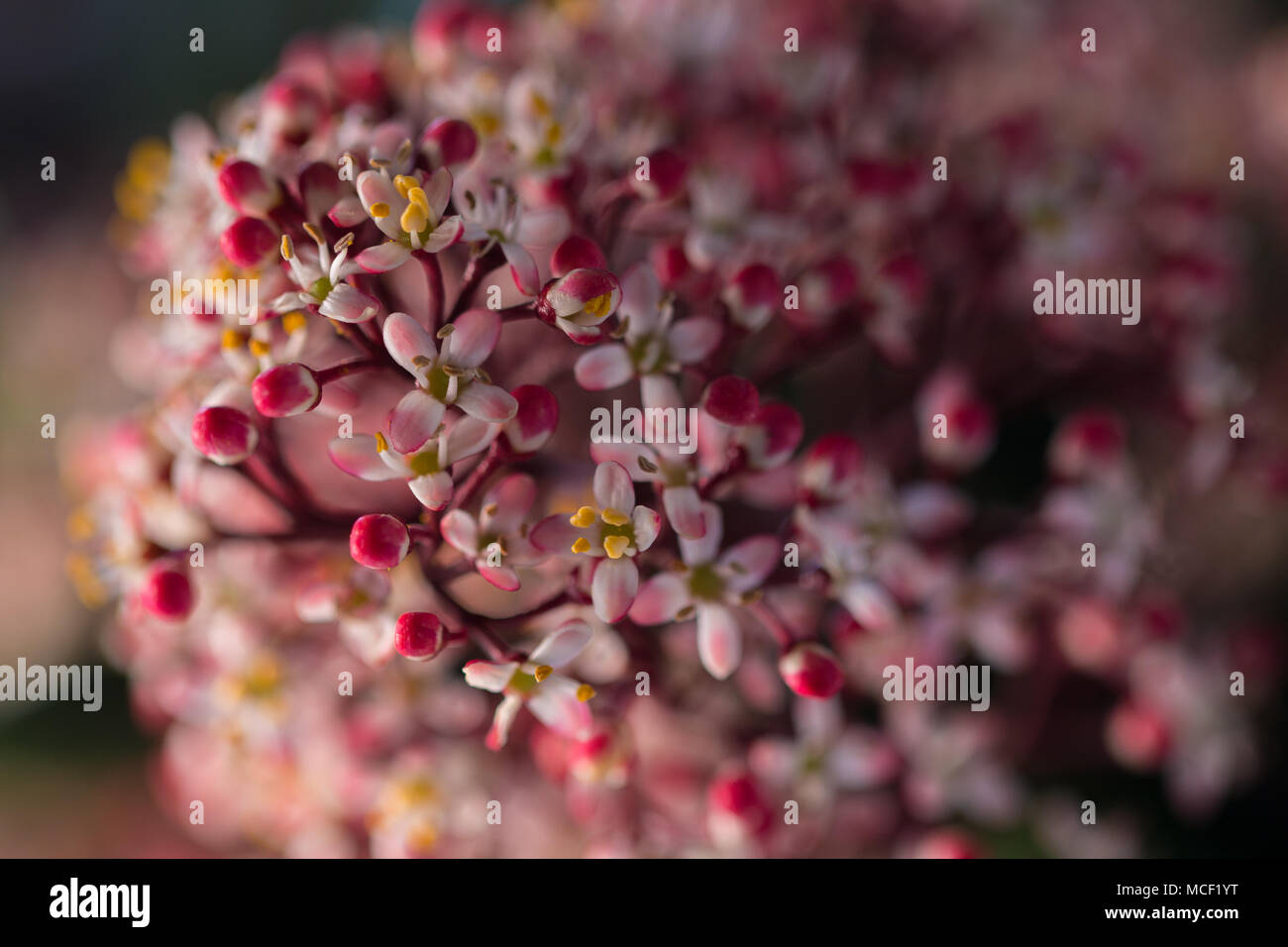 Male flowers of the Skimmia Japonica Rubella, close up image showing delicate pink and white flowers with a yellow centre, Shepperton, England U.K. - Stock Image