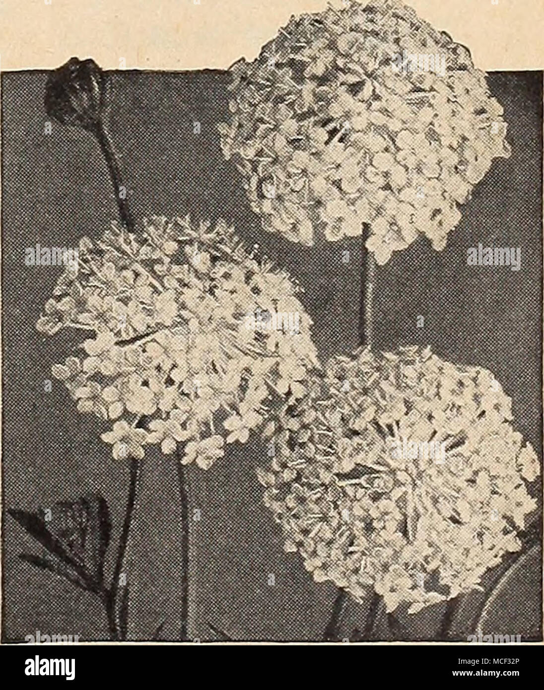 . Didiscus—Blue Lace Flower Didiscus—B/ue Lace Flower ® 2311 Coeruleus. Showy, lacy, light lavender flower heads borne profusely from July to frost. For borders and cutting. 18 inches. Pkt. 10c; large pkt. 30c. Dreer's Flower Seeds have won many prizes for our customers. ] ® =Annual; ® = Biennial; |hhp| = Half-Hardy Perennial; gPl = Hardy Perennial; [tp1= Tender Perennial £7 - Stock Image