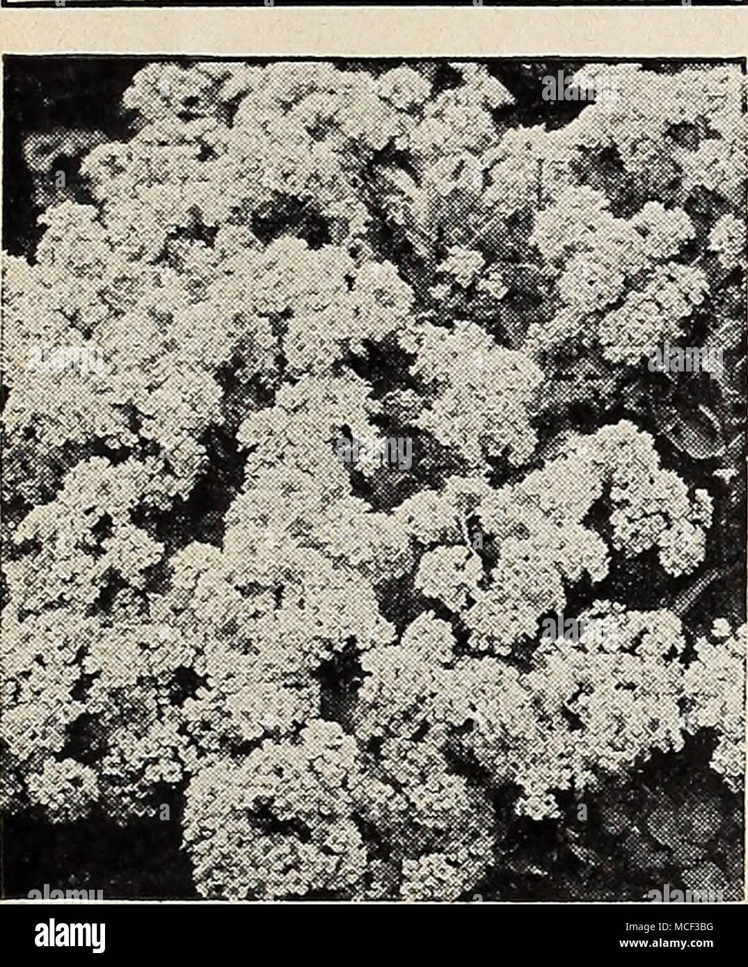 Alyssum saxatile compactum achilleamilfoil yarrow 17 001 ptarmica yarrow 17 001 ptarmica boule de neige ball of snow 1 ft showy double white flowers in july 30c each 3 for 85c 12 for 300 17 002 tometitosa izmirmasajfo