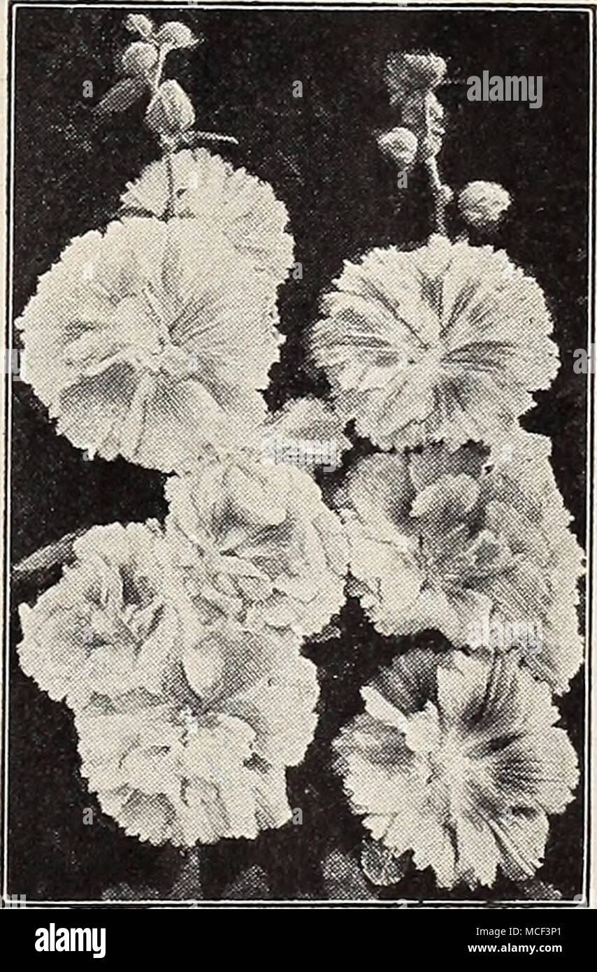 . New Annual Hollyhock 2632 Indian Spring A very remarkable new annual Holly- hock, blooming 5 months after sowing. Has showy, semi-double, fringed pink flowers. Awarded Silver Medal All- America Selections, 1939. Easy to grow and highly recommended. Pkt. 15c; large pkt. 60c. Garden Guide The amateur gardener's handbook. Tells how to plan, plant, and maintain the home grounds; how to grow vegetables, fruits, flowers, etc. Postpaid for $2.00 ) = Annual; (§) = Biennial; |hhp| = Half-Hardy Perennial; |hp] = Hardy Perennial; (tp) = Tender Perennial 29 - Stock Image
