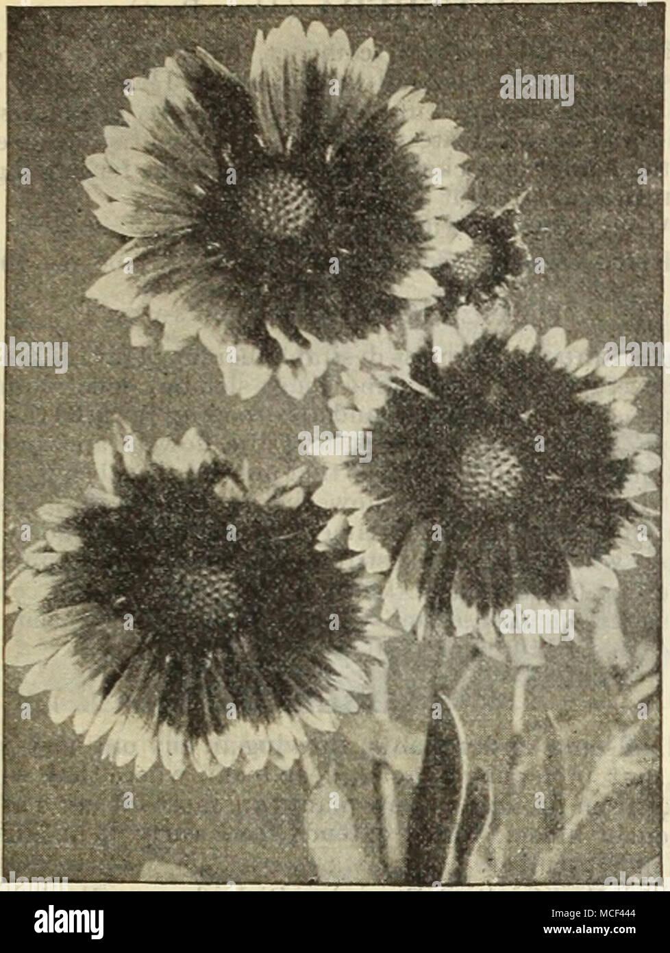 Gaillaroia Gkandifloka Funkia Plantain Lily The Plantain Lilies