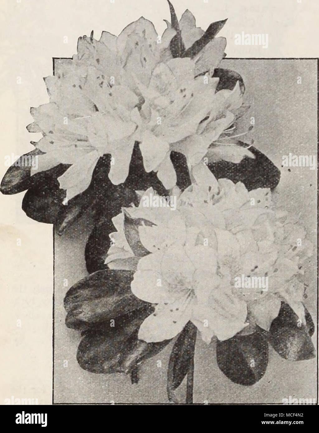 Azalea Kurume Japanese Kurume Azaleas These Are Most Valuable