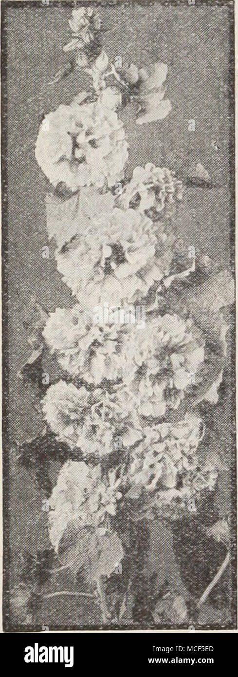 . ® = Annual ® = Biennial [HHP] = Half-Hardy Peren- nial [HP] = Hardy Perennial pfp] = Tender Perennial New Double Hollyhocks gl 2792 Imperator. A strik- ing departure from the type which arrests the attention of the be- holder. Bears flowers 5J to 6j inches across. The outer petals are broad, elegantly frilled, and deeply fringed. The center is a very double rosette, the whole sug- gesting a huge crested Begonia. The coloring consists of many charm- ing combinations, such as cerise-salmon with center of cream, delicate pink with center of rose, flushed yellow; and many others. Pkt. 20c; speci - Stock Image