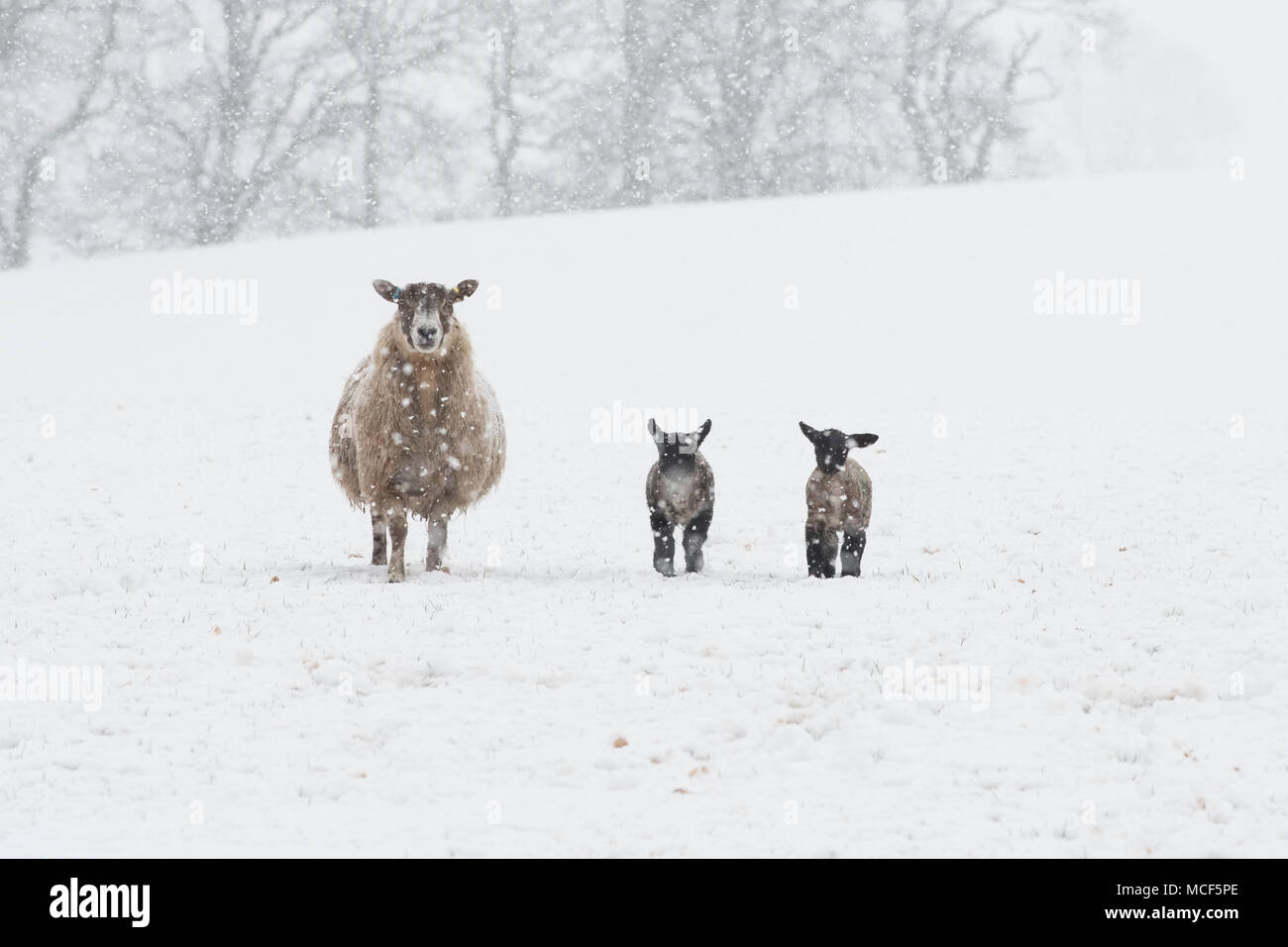 Ewe and two lambs in snow - Stock Image
