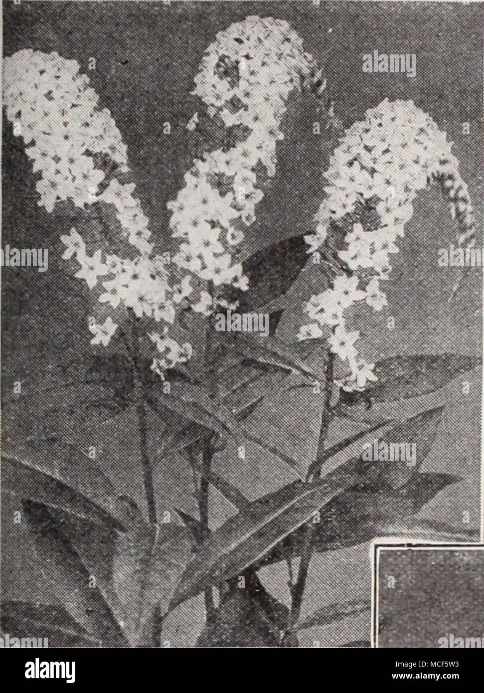 . Lysimachia Clethroides Lychnis (Campion, Lamp Flower, etc.) Of the easiest culture, thriving in any soil, and this, in addition to their brightness has brought them into high favor with lovers of hardy plants. Chalcedonica (Jerusalem Cross). A most desirable plant, heads of brilliant orange-scarlet in June and July; grows 2 to 3 feet high. — Alba. A white-flowered form of above. Haageana. Brilliant orange- scarlet flowers in May and June; 12 inches. Viscaria Splendens. Forms a dense tuft of evergreen foliage, and in June sends up spikes of handsome, double, deep red, fragrant flowers; 1 foot Stock Photo