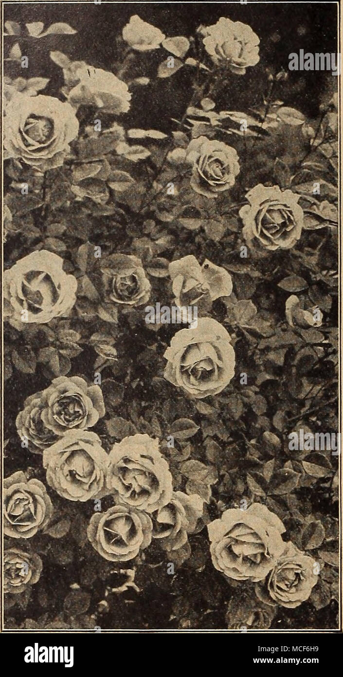 Excelsa Rose Stock Photos & Excelsa Rose Stock Images - Alamy
