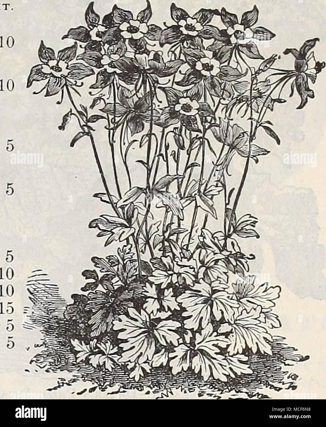 Aquilegia Glandulu Campanula Bell Flower Per Pkt 1740 Media
