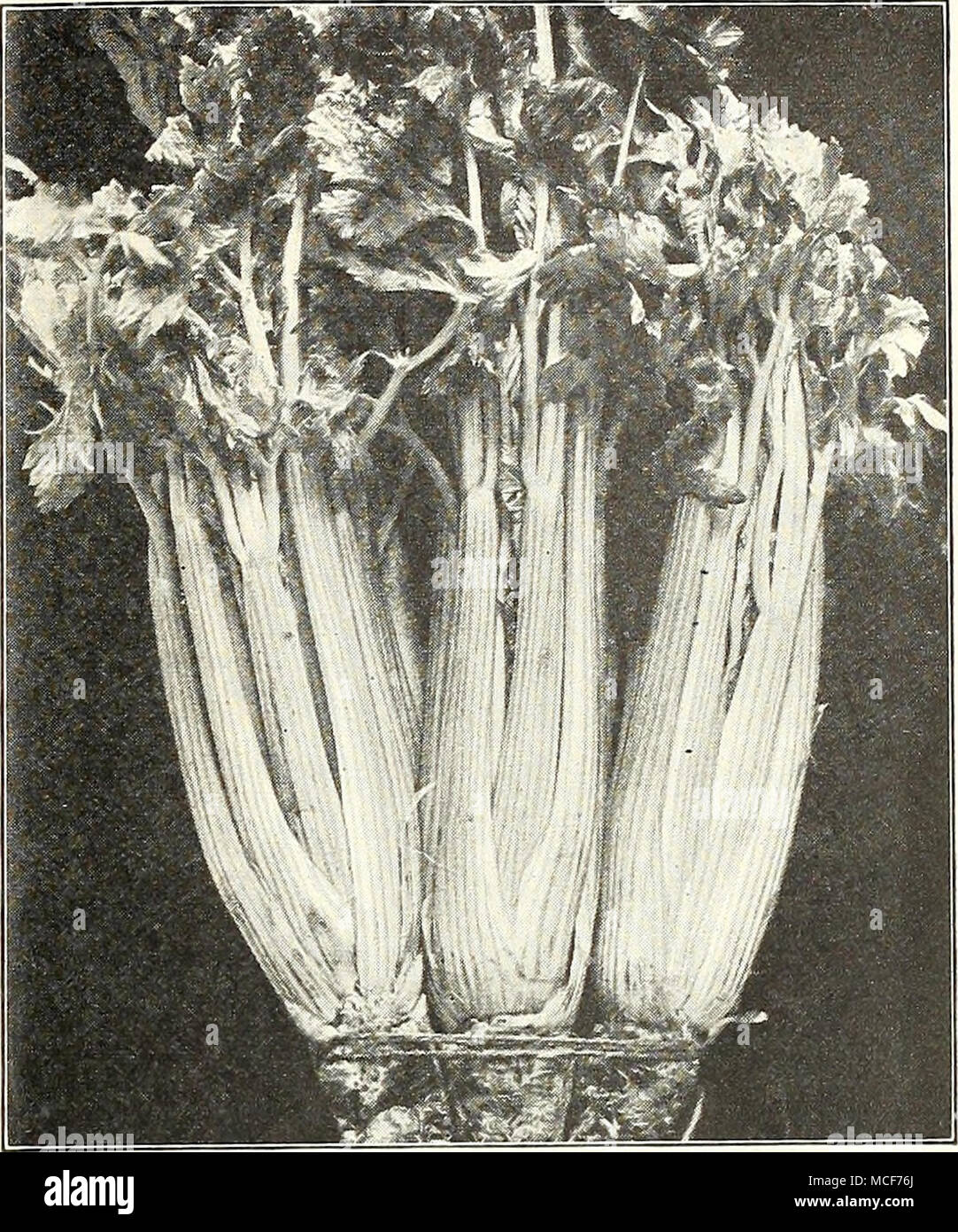 Cultivation of stalked celery in the open field: methods and recommendations for the care 77