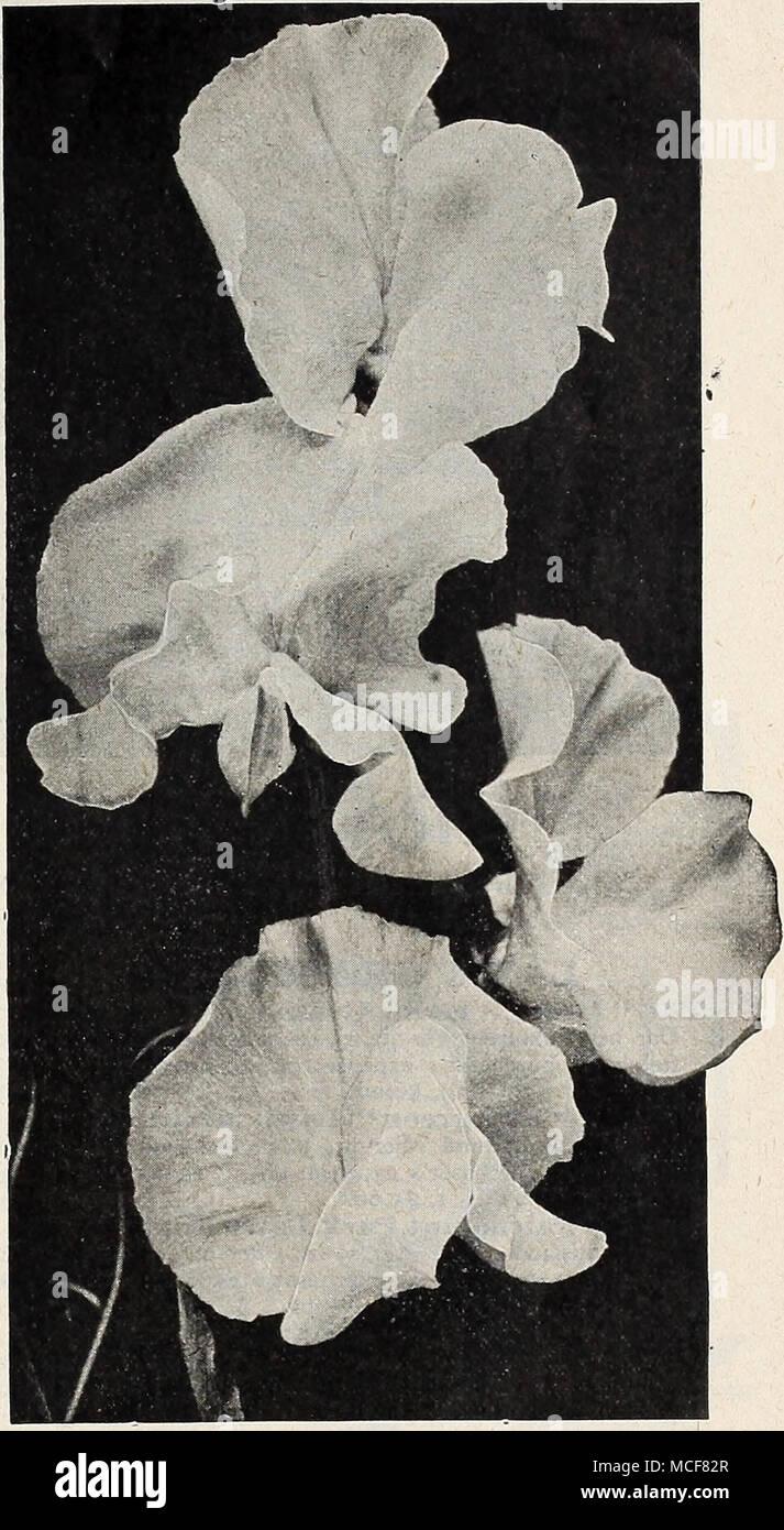FLOWER SWEET PEA MAMMOTH SCARLET 50 FLOWER SEEDS