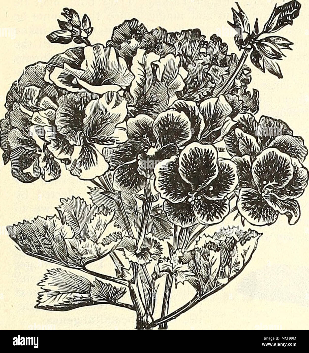 Pelargonium Offered On Page 140 Pennisetum Rlieppelianum