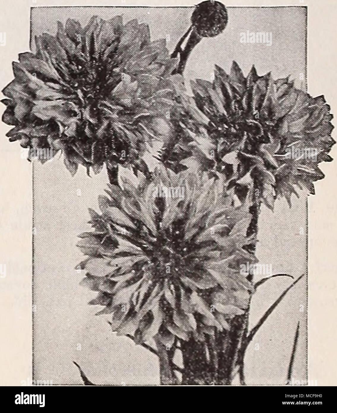 Large Packet Flower Ball Black Strain Cornflower 500 Seed