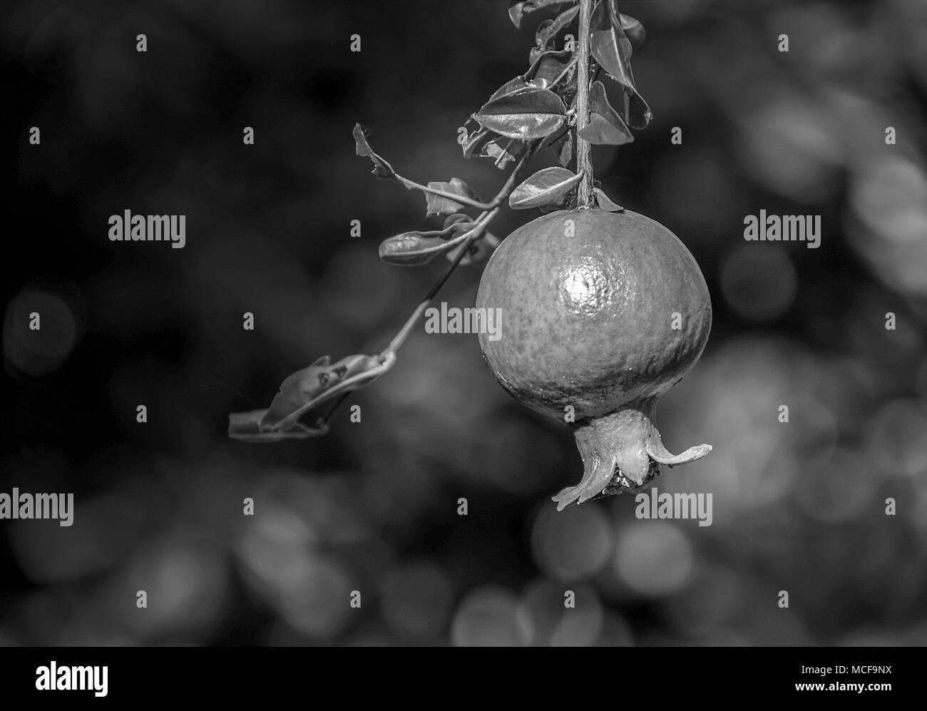 Unripe green pomegranate fruit. Monochrome photo, blurred background. - Stock Image