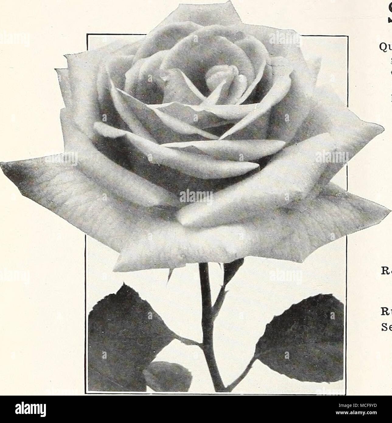 Hybrid Tea Rose Una Wallace Souvenir De H A Verschuren Most Desirable Two Toned Yellow The Edges Light Buff Deepening To Apricot At