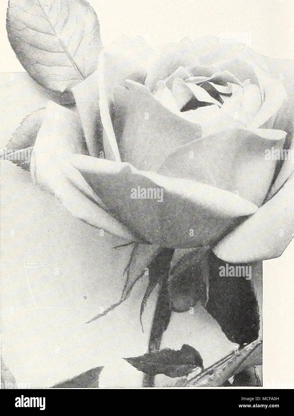 Hybrid tea rose president cherioux select hybrid tea roses mme a beautiful and much admired light pink shaded salmon and carmine buds of splendid form fine for cutting mme butterfly beautiful buds and flowers izmirmasajfo