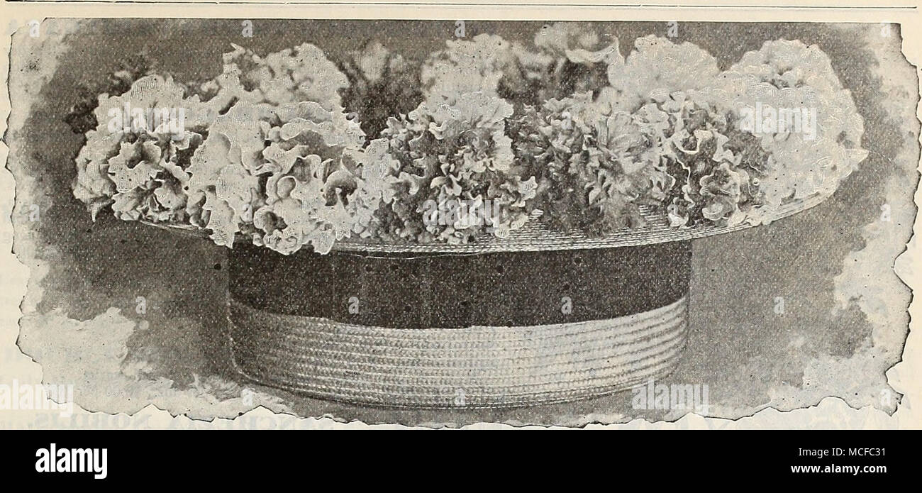 ". A "" Hatful '"" of Drber's Double Petunias, reproduced phom a photograph. DREER'S SUPERB DOUBLE FRINGED PETUNIAS. For many years we have made a specialty of Double Petunias, growing about five thousand seedlings annually, from which â we select the choicest for propagation. We have discarded the plain edged sorts, as the fringed and laced varieties listed below are -very much better. To bring our strain of Double Fringed Petunias to the notice of such of our patrons who have not yet tried them, we have chosen them as one of the subjects for the cover of this catalogue, but the plate  Stock Photo"