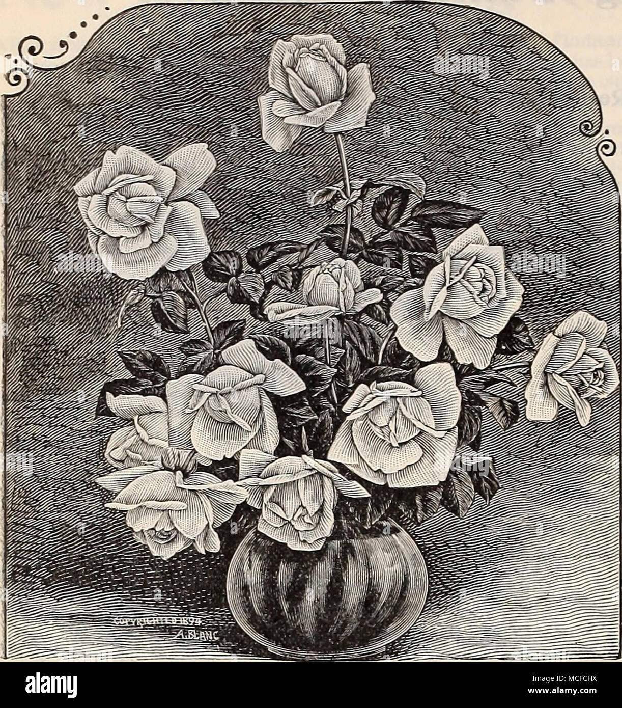 . Roses The Bride. Jean Ditcher. Pale lemon, centre shaded with peach, large full glob ular flower. Jules Finger. Rose shaded with salmon, large, full and finely formed. Louis Richard. Orange yellow, shaded with coppery salmon; a fine large double flower, quite hardy. Madame Camille. Pale flesh, changing to salmon rose, shaded with carmine. Mad. Bravy. Pure white, very free. Mad. Cusin. Purplish rose centre, tinted yellowish. Mad. Falcotj A deep apricot yellow. Mad. de Watteville. Salmon white bordered with bright rose. Meteor. A rich dark velvety crimson Hybrid Tea, a free- blooming and vigor - Stock Image