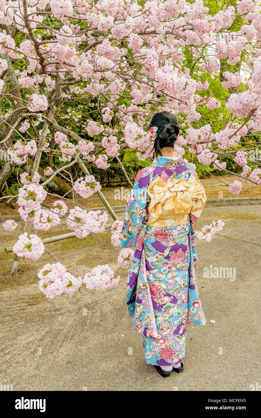 Girl dressed in traditional Japanese dress against blooming cherry tree, Kyoto, Japan - Stock Image