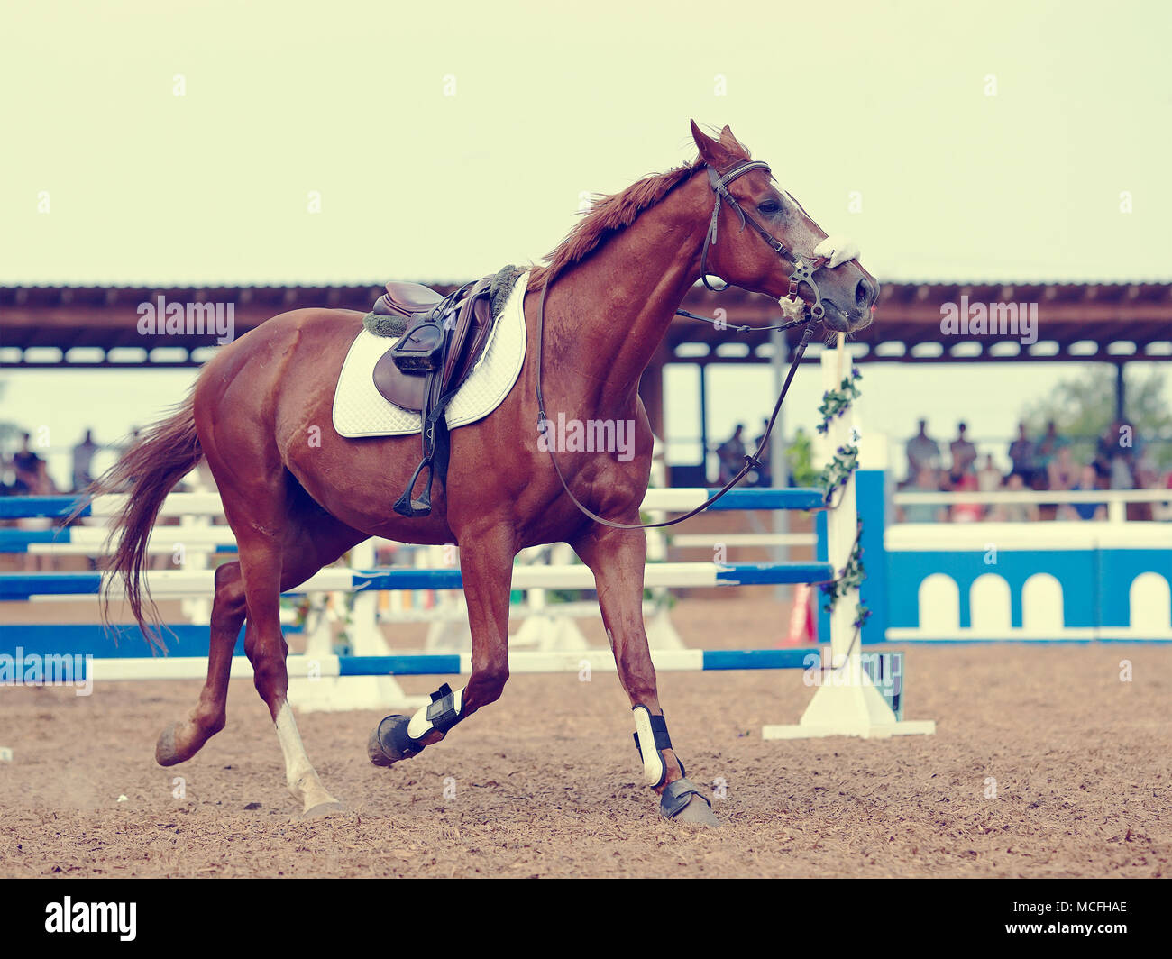 Sports horse in the field for competitions. - Stock Image