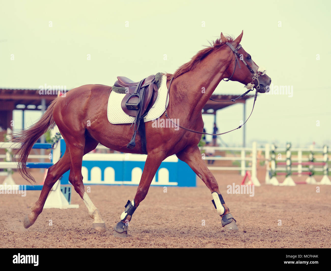 The sports horse trots in the field for competitions. - Stock Image