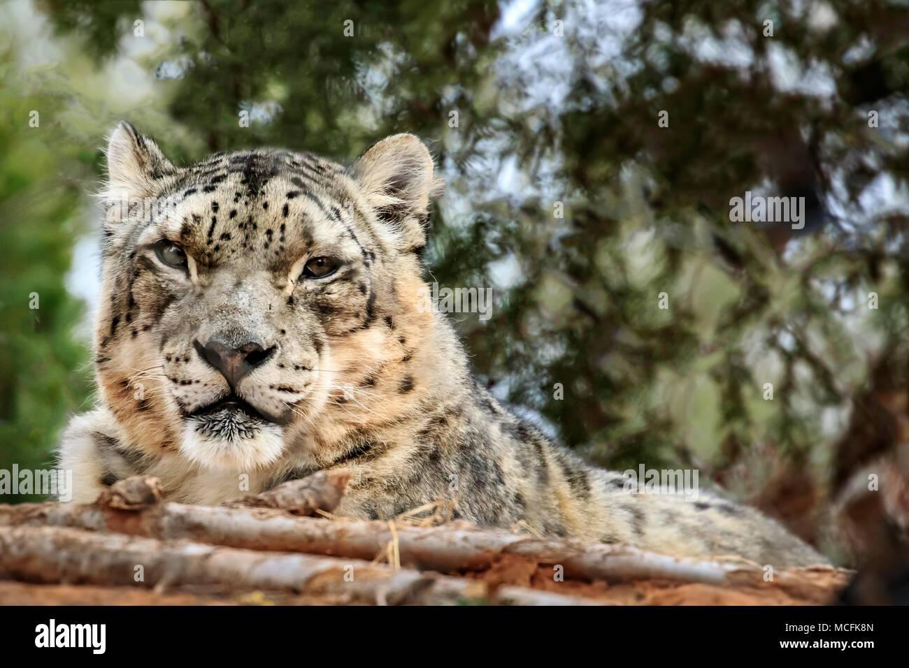 Snow Leopard (Panthera uncia) portrait. - Stock Image
