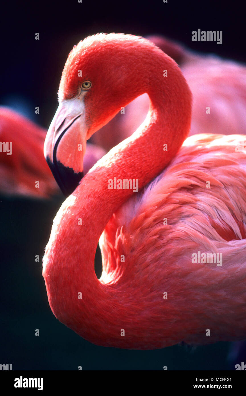 A pink Flamingo in Clearwater, Florida - Stock Image