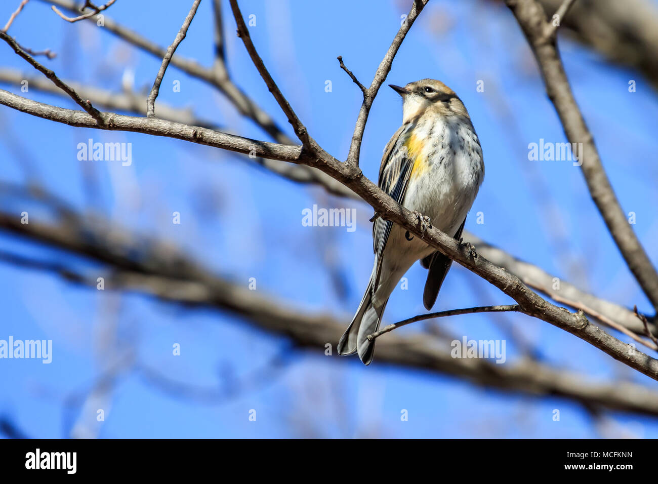A Yellow Rumped Warbler (Setophaga coronata) perched in a bare winter tree. - Stock Image