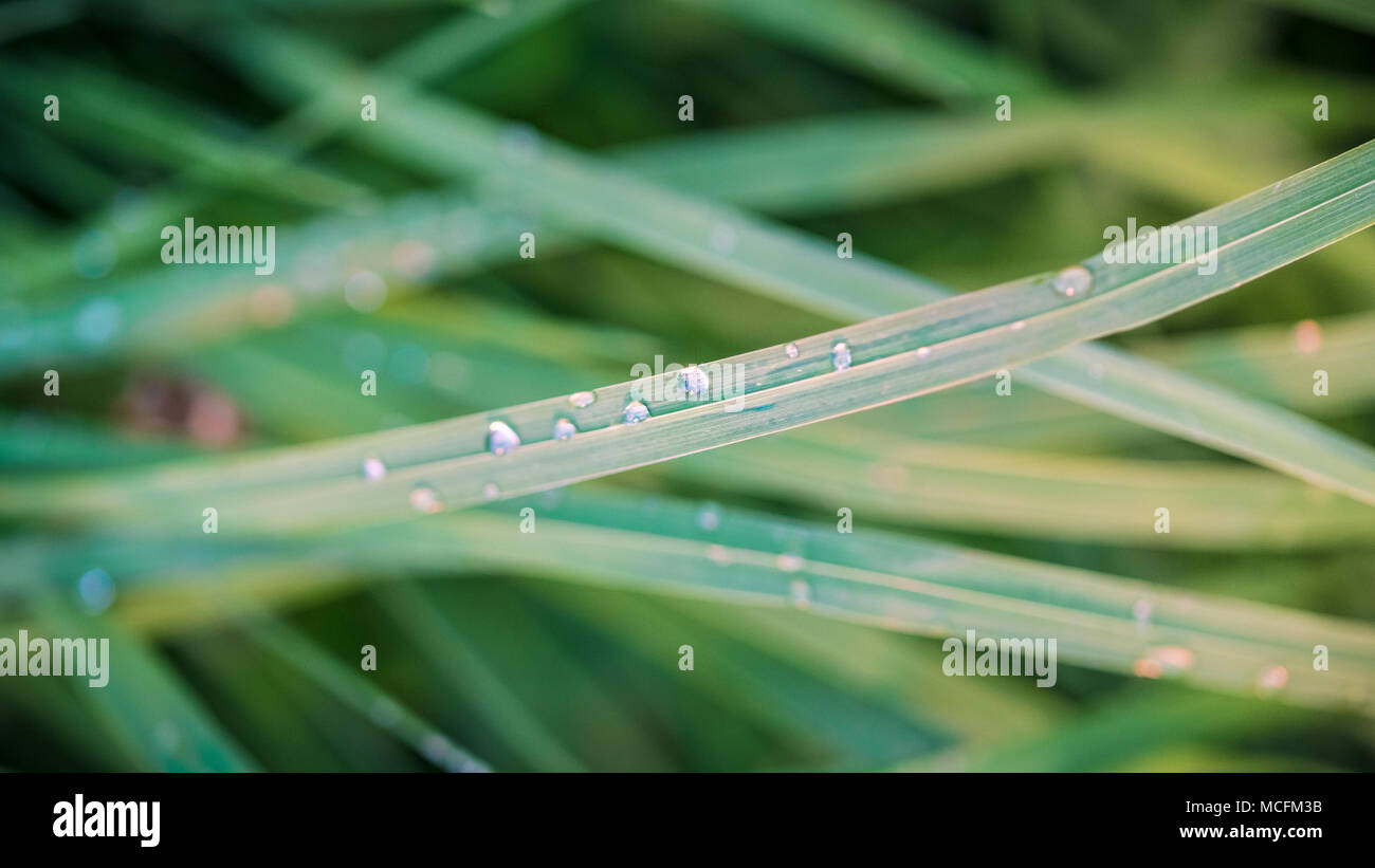 Water drops on green grass (macro image) - Stock Image