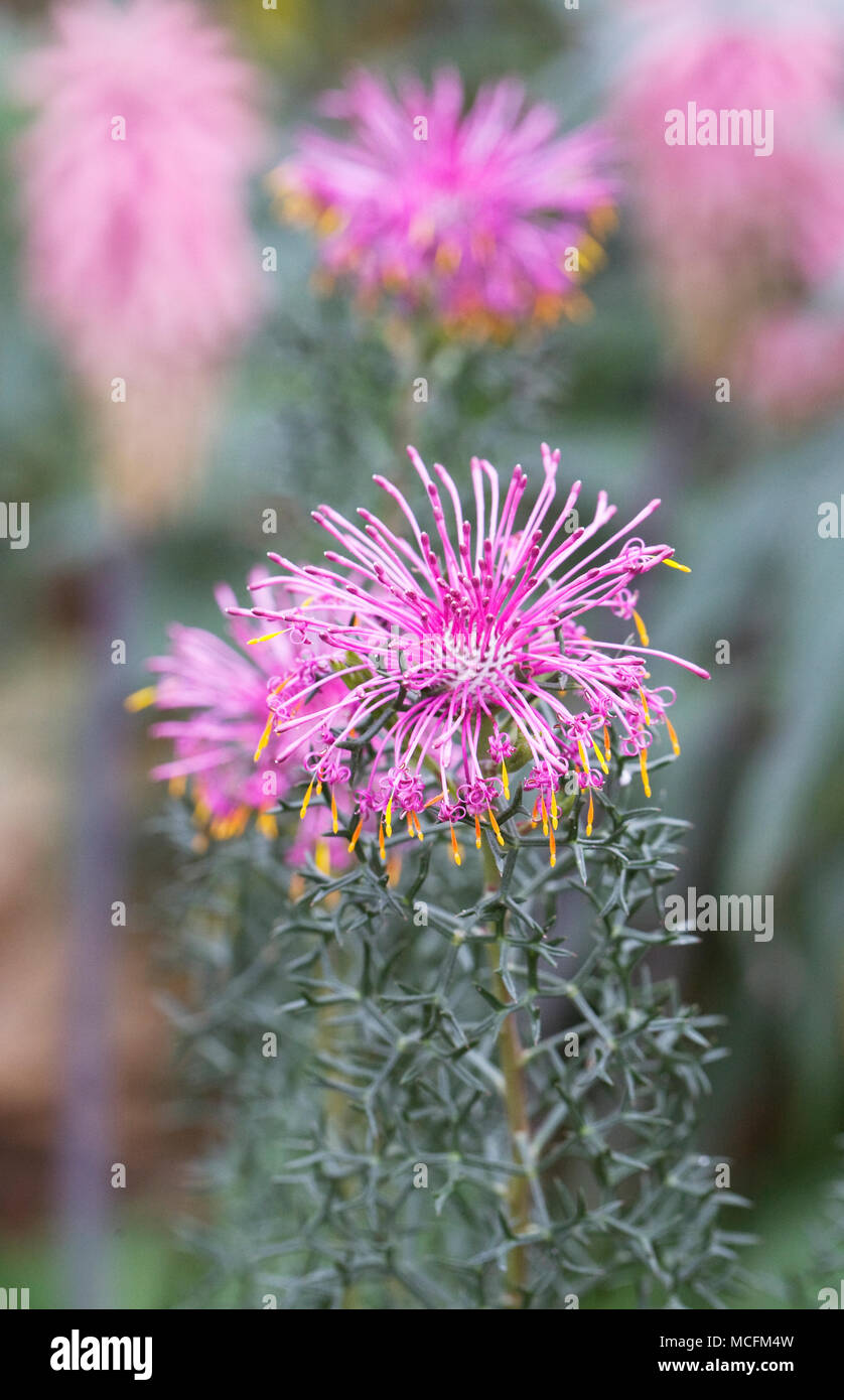 Isopogon formosus. Rose Cone Flower in a protected environment. - Stock Image