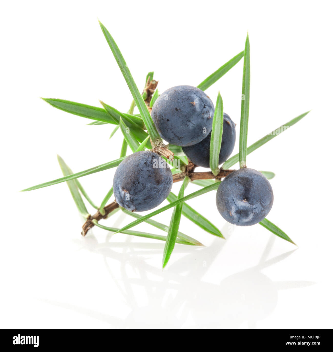 Juniper twig with berries isolated on white background - Stock Image