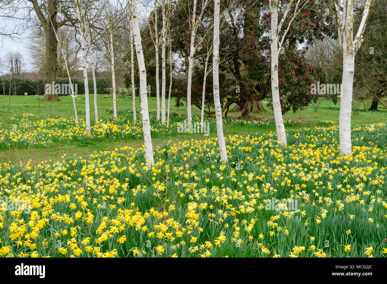 Birch trees with white bark and blooming yellow daffodils at birch trees with white bark and blooming yellow daffodils at hatfield house park mightylinksfo