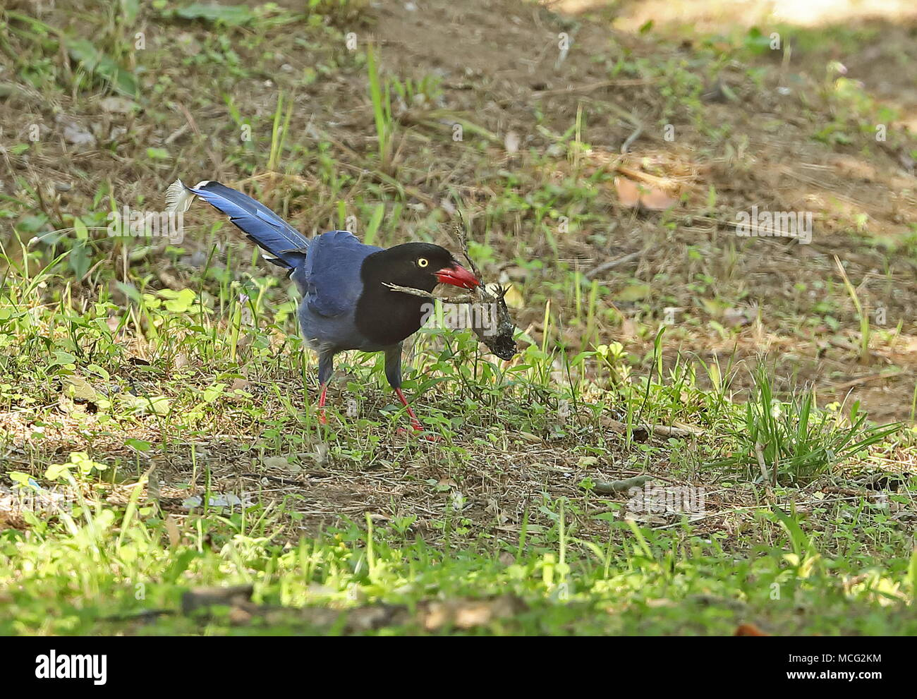 Taiwan Blue Magpie (Urocissa caerulea) adult on ground with body of a desicated frog or toad  Jinshan, Taiwan                April - Stock Image