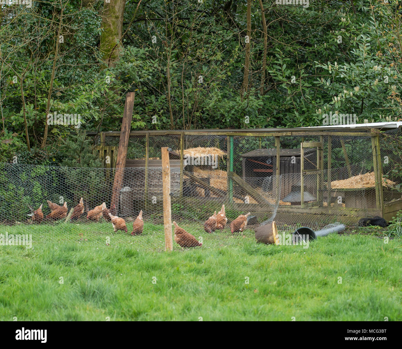 chickens in a run on smallholding - Stock Image