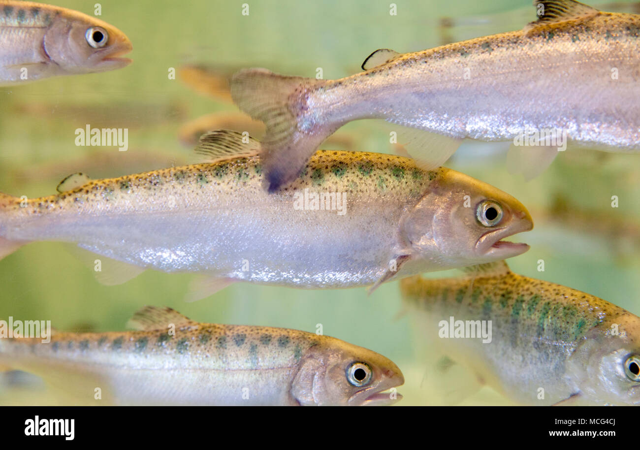 WA14300-00...WASHINGTON - Chinook salmon smolt at the Seattle Aquarium. - Stock Image