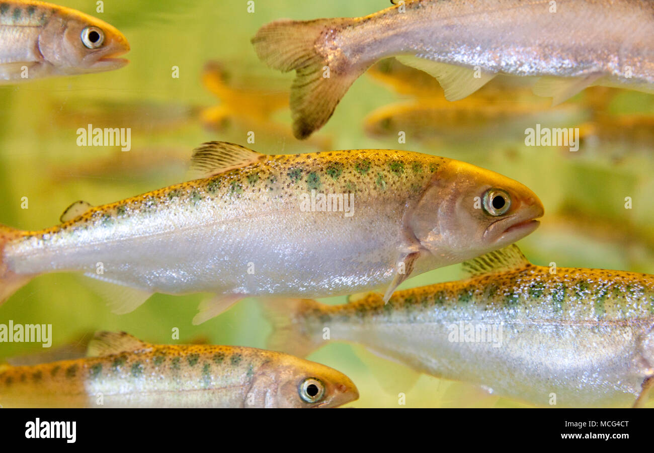 WA14301-00...WASHINGTON - Chinook salmon smolt at the Seattle Aquarium. - Stock Image