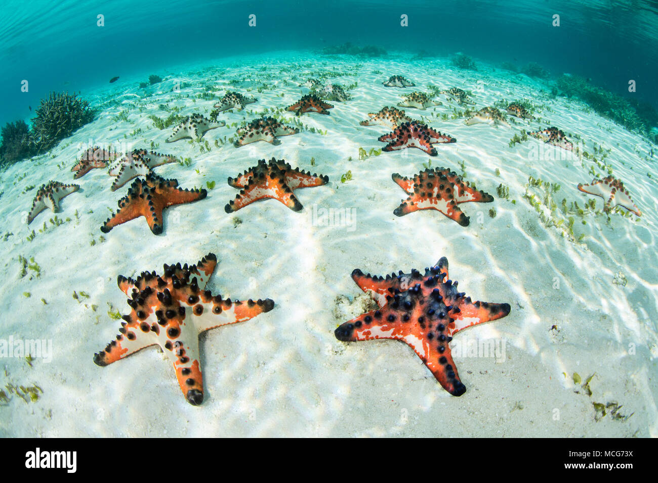 Colorful Chocolate chip starfish, Protoreaster nodosus, cover the sandy seafloor of a seagrass meadow in Raja Ampat, Indonesia. - Stock Image