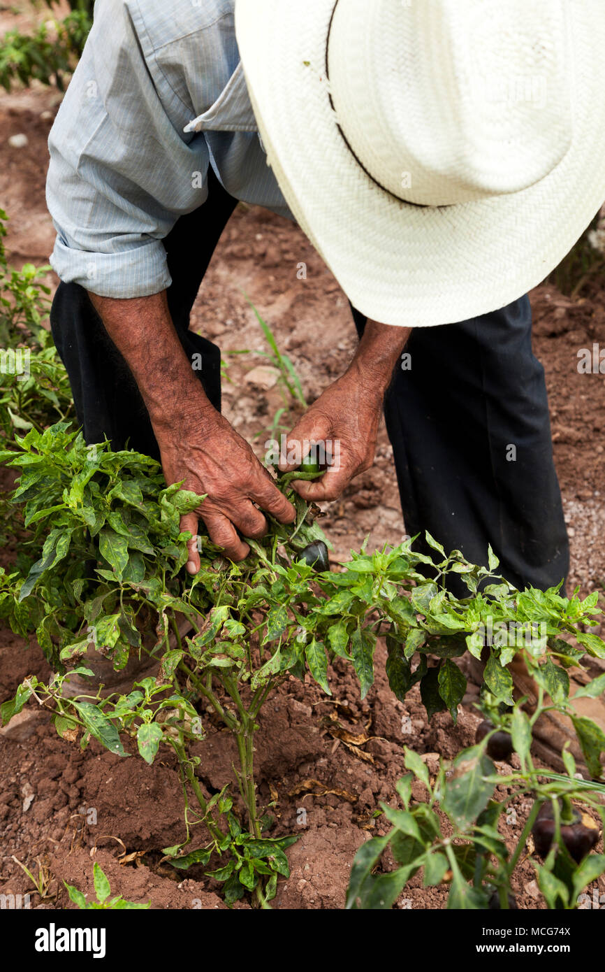 A picker bends over to harvest a chile on a chile farm in the Canada region Oaxaca. The farm grows rare chiles such as chilhuacle negros which are in  - Stock Image