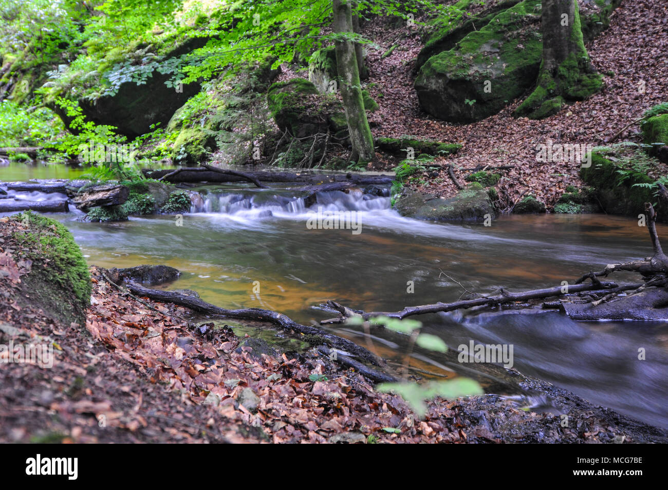 German Beech forest at Pfalz or Black Forest close to Kaiserslautern - Stock Image