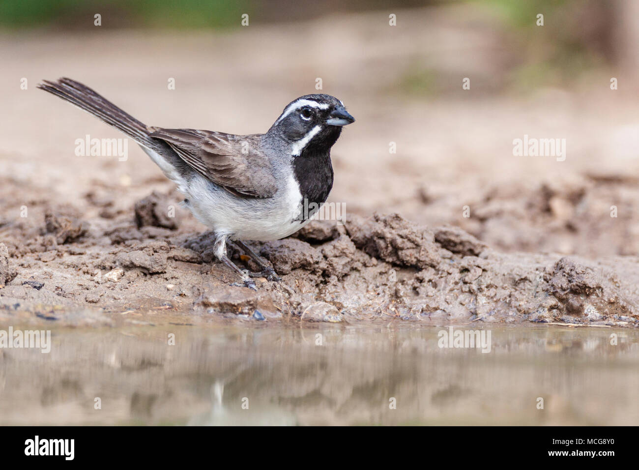 Black-throated Sparrow, Amphispiza bilineata, looking for water and relief from summer heat, on a ranch in South Texas. - Stock Image