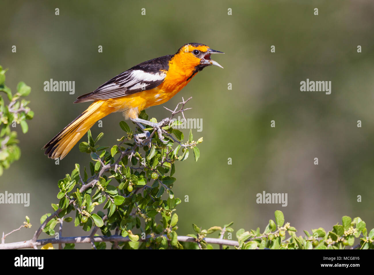 Bullock's Oriole, Icterus bullockii, trying to keep cool during a hot summer on a ranch in South Texas. - Stock Image