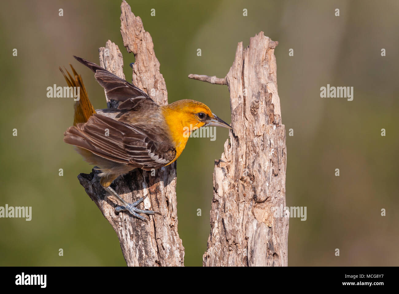 1st Spring juvenile Bullock's Oriole, Icterus bullockii, trying to keep cool during a hot summer on a ranch in South Texas. - Stock Image