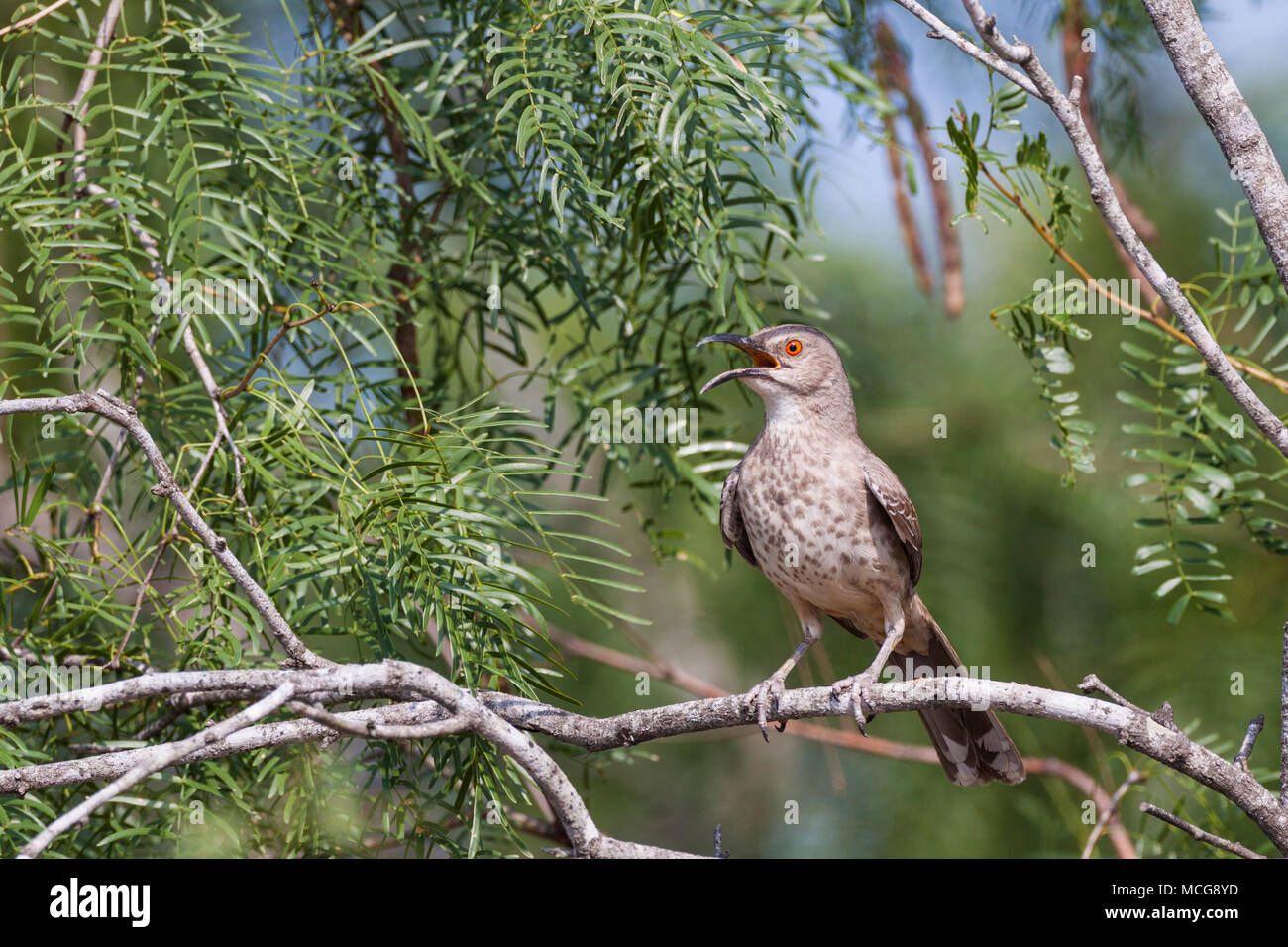 Curve-billed Thrasher, Toxostoma curvirostre, a perching bird of the thrasher group, trying to keep cool on a ranch in South Texas. - Stock Image