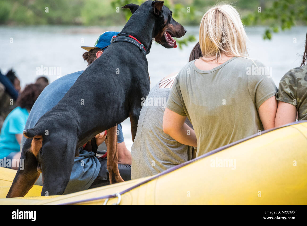 A Doberman Pinscher makes sure he doesn't miss any of the action at Paddle South, the USA Freestyle Kayak National Championship in Columbus, Georgia. - Stock Image