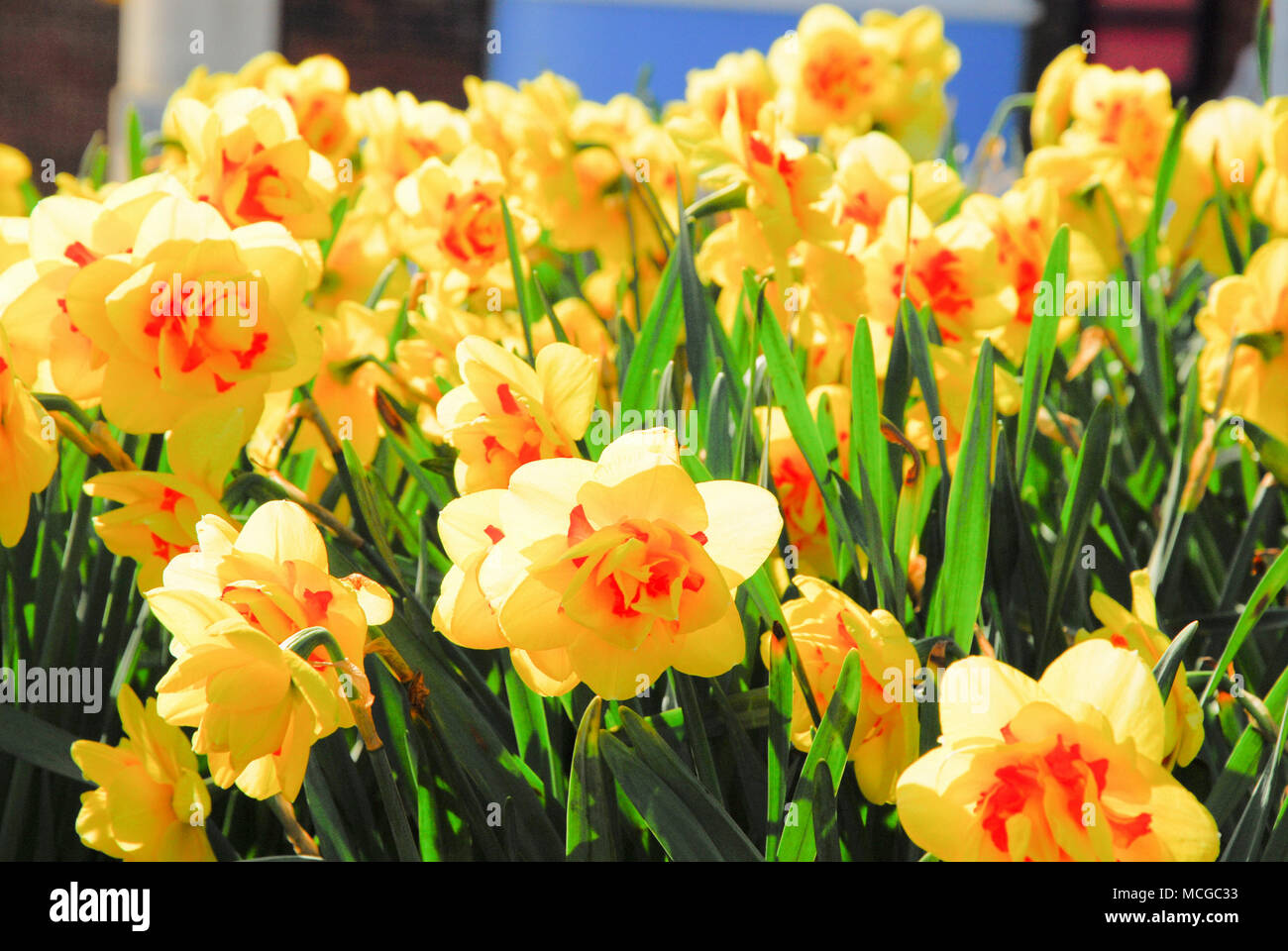 Weymouth, Dorset. 16 April 2018. Coral-centred narcissi looking gorgeous in the warm sunshine on Weymouth seafront Credit: stuart fretwell/Alamy Live News - Stock Image