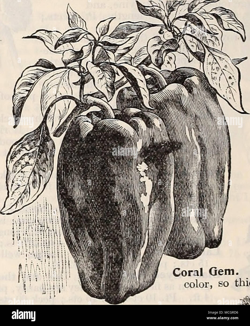 . Used for garnishing and season- ing soups, meats, etc. Succeeds best in a mellow, rich soil. Sow thickly early in April, in rows 1 foot apart and £ inch deep; thin out the plants to stand 6 inches apart in the rows. The seed is slow of germination, taking from three to four weeks to make its appearance, and often failing to come up in dry weather. To as- sist its coming up quicker, soak the seed a few hours in warm water, or sprout in damp earth, and sow when it swells or bursts. For winter use protect in a frame or light cellar. Ruby King Pepper. Half Curled. A medium curled variety for gar - Stock Image